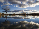 Bare Tree Reflected in the Water of a Floodplain  Bosque Del Apache National Wildlife Refuge