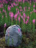 Boulder and Common Fireweed (Epilobium Angustifolium)  Matanuska Glacier  Alaska