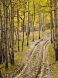 Two-Track Lane Through Fall Aspens  Near Telluride  Colorado