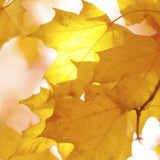 Autumn Leaves in Soft Sunshine III
