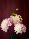 Pink Dahlias I