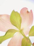 Pink Dogwood Flowers I