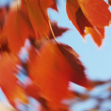 Orange Leaves in the Wind