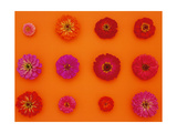 Pinks and Reds on Sunset Orange  Zinnia Family