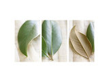 Magnolia Leaves III