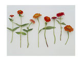 Zinnia Row on White