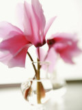 Fuchsia Blossoms in Clear Vase