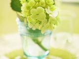 Hydrangea Springtime