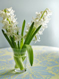 White Carnegie Hyacinth