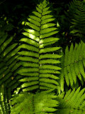Close View of a Fern Lit by the Sun  Groton  Connecticut