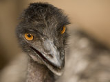 Closeup of a Captive Emu
