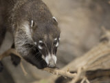 Coatimundi at the Henry Doorly Zoo  Omaha Zoo  Nebraska