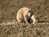 Black-Tailed Prairie Dogs in Eastern Montana