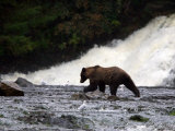 Coastal Brown Bear Fishing for Salmon Below Waterfall