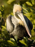 Closeup Portrait of a Brown Pelican  Sanibel Island  Florida