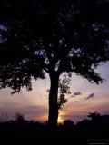 Cattle Graze Beneath a Shea Tree in Uganda