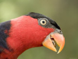 Black-Capped Lory  Captive  Native to New Guinea  Singapore