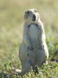 Black-Tailed Prairie Dog in Montana