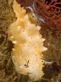 Closeup Detail of Nudibranch  Bali  Indonesia