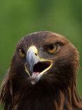 Close Portrait of a Golden Eagle  Alaska