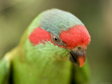 Closeup of a Musk Lorikeet  Singapore