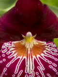 Close View of a Red Orchid  Groton  Connecticut