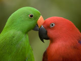 Closeup of Male and Female Eclectus Parrots  Respectively