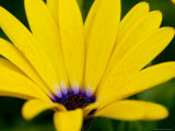 Close View of Osteospermum Hybrid  Groton  Connecticut