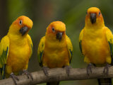 Closeup of Three Captive Sun Parakeets