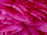 Close View of Petals of a Peony Flower  Groton  Connecticut