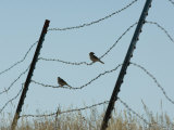 Brown-Headed Cowbirds Sit on a Wire in Eastern Montana