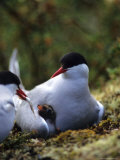 Arctic Tern Offers Fish to Day Old Chick  Alaska