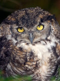 Big Yellow Eyes of the Screech Owl  Alaska