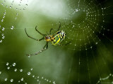 Cobweb Weaver Spider Rests on his Dew Covered Web  Groton  Connecticut