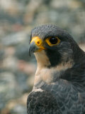 Close Portrait of a Peregrine Falcon  Alaska