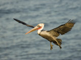 Brown Pelican in Flight  California