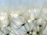 Close View of Dandelion Seeds  Groton  Connecticut