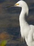Closeup of a Snowy Egret  Sanibel Island  Florida