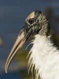 Closeup of a Wood Stork  Sanibel Island  Florida