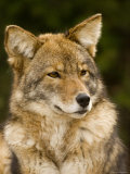Closeup Portrait of a Captive Coyote  Massachusetts