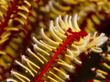Close View of Arm of a Crinoid Feather Star  Bali  Indonesia