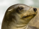 Closeup of a California Sea Lion