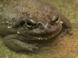 Colorado River Toad from the Henry Doorly Zoo  Omaha Zoo  Nebraska