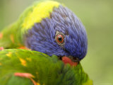 Closeup of a Rainbow Lorikeet Preening  Singapore