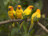 Closeup of Four Captive Sun Parakeets