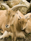 Captive Barbary Sheep  Native to North Africa