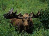 Bull Moose in Velvet  Alaska