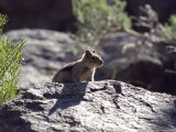 Closeup of a Golden-Mantled Ground Squirrel  California