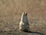 Black-Tailed Prairie Dog in Eastern Montana