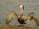 Brown Pelican with Wings Outstretched  California
